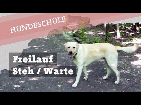 Hund Freilauf ohne Leine beibringen - Befehl Steh / Warte stehen bleiben...