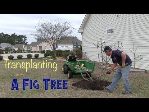 Fig Tree Transplant - YouTube