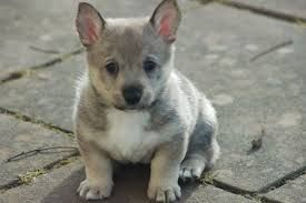 Swedish Vallhund puppy