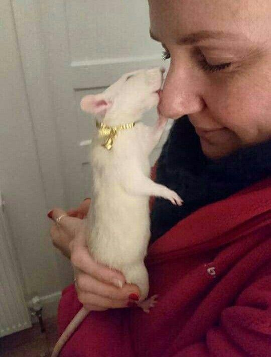 Rattie is loving on it owner!  God Bless it!  (: