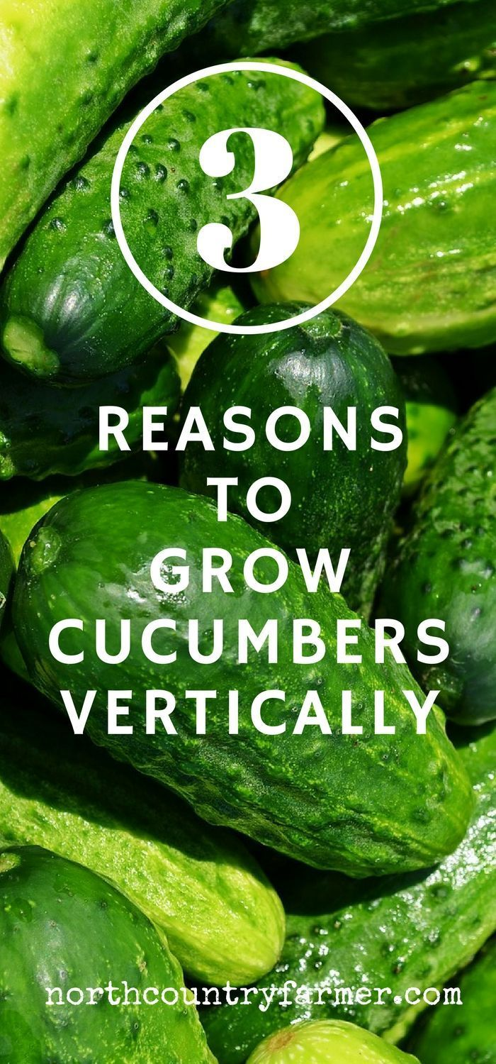 Grow your garden cucumbers vertically