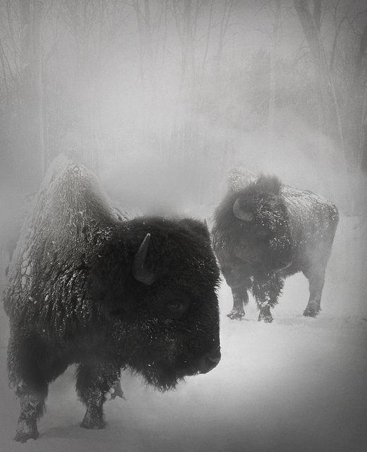 Skönt att det är vår., bison