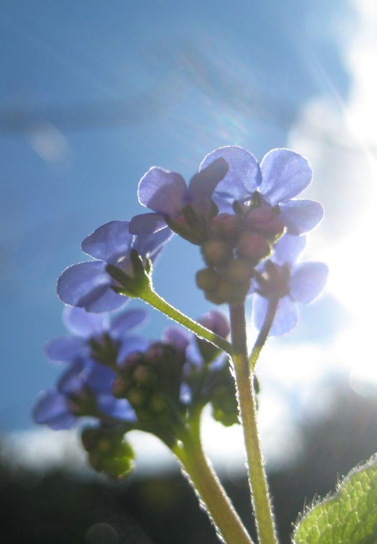 ©T. van't Veer, Garden Secrets,Vergeet-mij-niet.