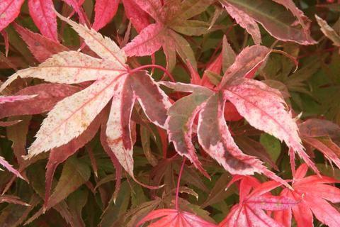 Acer palmatum 'Geisha Gone Wild' Japanese Maple