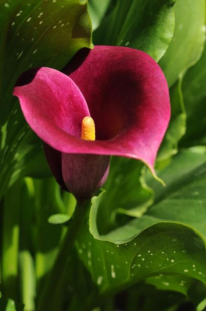 burgundy calla by Francesco Carta