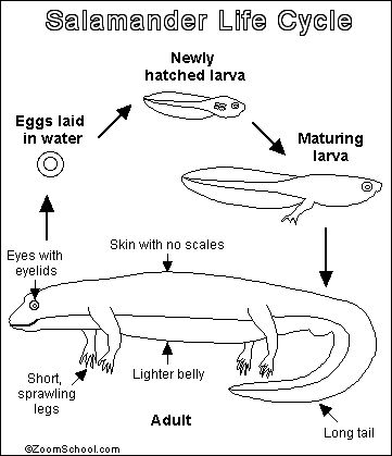 Salamander Printout- Enchanted Learning Software