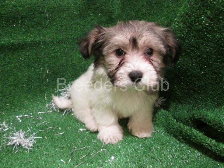 Havanese Club of America pure bred havanese puppies for