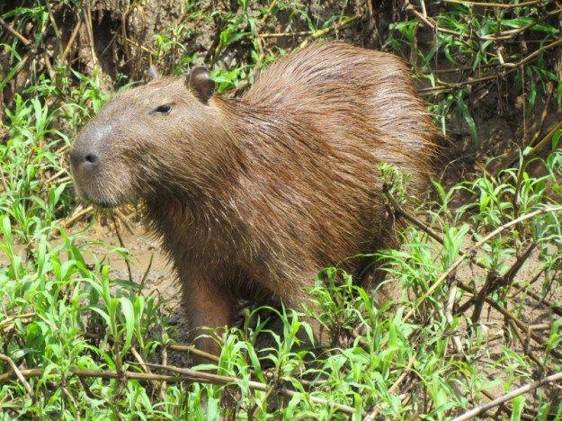 Capibaru in het Amazone regenwoud
