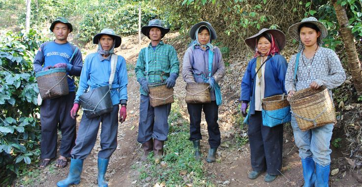 No matter the age, everyone from the village is hard at work hand picking all of the coffee cherries.