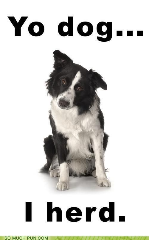 "funny puns - Ghetto Collie Doesn't Have Quite the Same Ring to It..."" Haha! Enjoy this border collie humor. #bordercollie #putting_the_O_in_JAMSO"