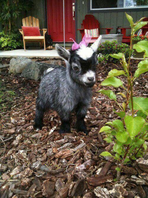 Adorable Pygmy Goat, it has a bow! Squeeee!