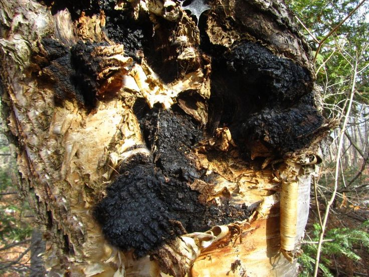 Several new studies this year show that Chaga mushroom has benefit in Herpes Simplex (HSV) 1