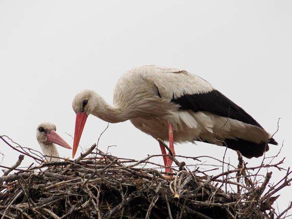 Storks Photo storks Nest Bird Digital download Instant