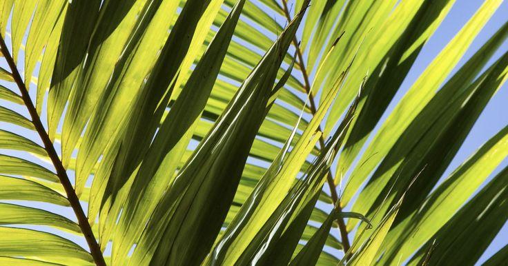 Cómo cultivar una palma de sagú a partir de hijuelos. La palma de sagú (Cycas revoluta), comúnmente llamada cicada, palma de iglesia, o cica del Japón, no es una palma como tal. Estas plantas parecen palmas, pero en realidad son parte de la familia Cycadaceae. Puedes multiplicar tus palmeras sagú a través de la separación y la plantación de los segmentos o hijuelos que se desarrollan alrededor de la ...