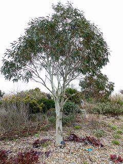 Eucalyptus niphophila (E. niphophila) #trees #plants #plantsforbees