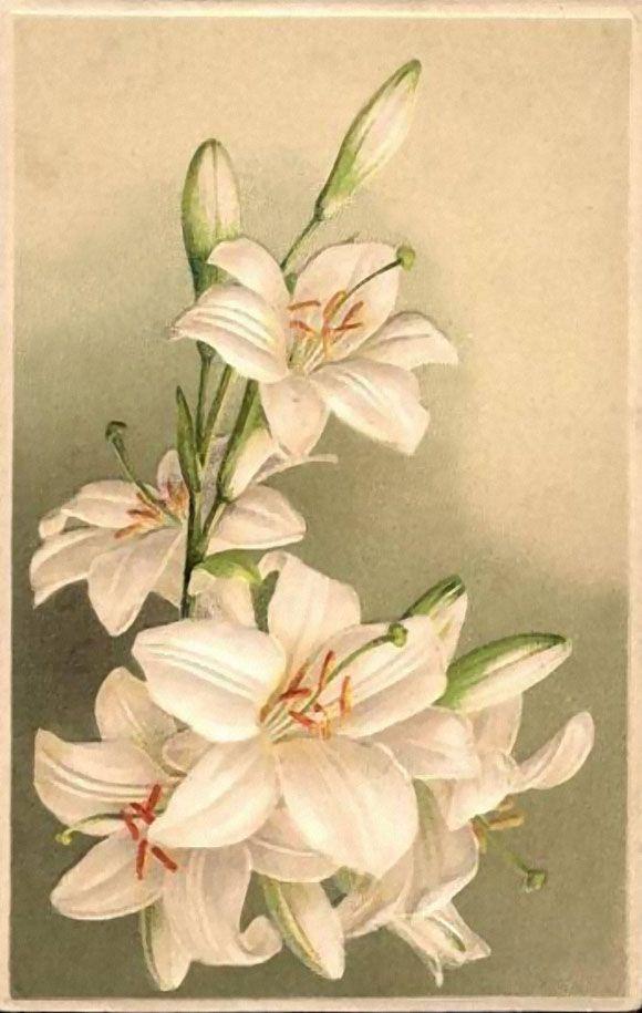 Открытки рисованные с лилиями, мая открытку