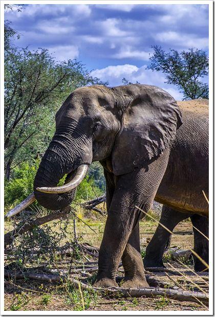 Chewore Elephant, Zambezi River, Zimbabwe