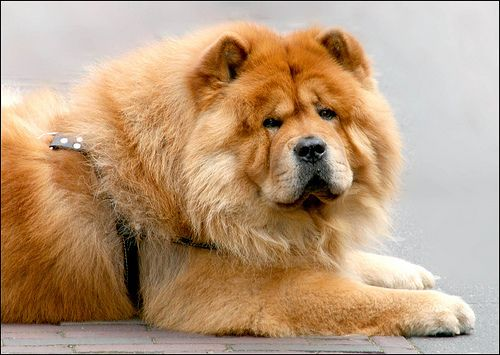 chow chow | Chow Chow Photo Gallery – Pictures Of Chow Chows! | Dog Picture ...