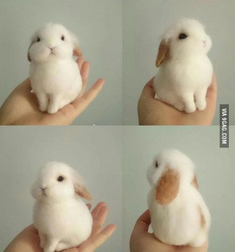 Holland lop baby bun. Can you look at this little fluffball of cuteness and not smile?