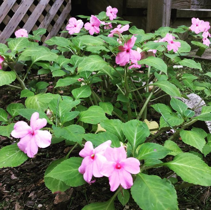 How to Grow from Seeds! It took 14 weeks to #grow #impatiens from #seed #seeds to #lush #plants with pretty #pink #flowers #flower #flowerpower #flowerphotography #flowerphoto #flowerphotograph #flowerphotos #pinkflower #pinkflowers #garden #gardens #gardening #gardeningtips #gardeningtipsforbeginners #beginnergardener #beginnergardening #gardeninspiration #growfromseed #howtogrowfromseed #sowedseed #sowedseeds #seedling #transplant #plant #planting #shadegarden #shadygarden #shadygardens…