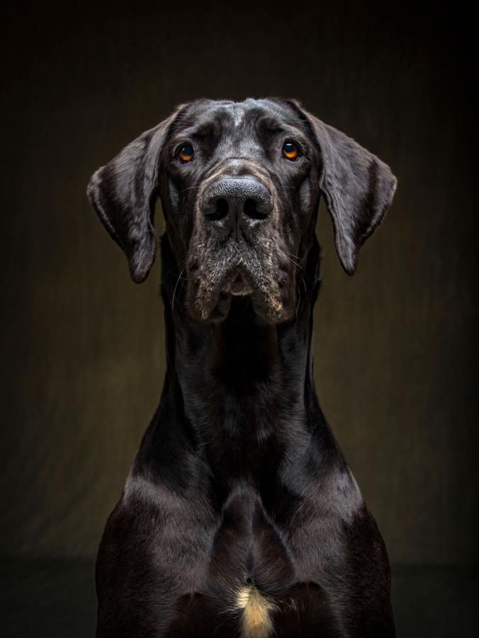 These Dogs Are Pure Personality Dog Portraits Great Dane Dogs Dogs