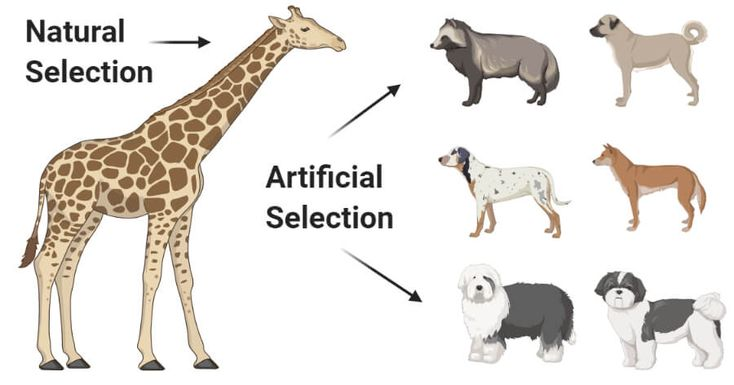 17 Differences Between Natural And Artificial Selection Dog Breeds The Selection Natural Selection