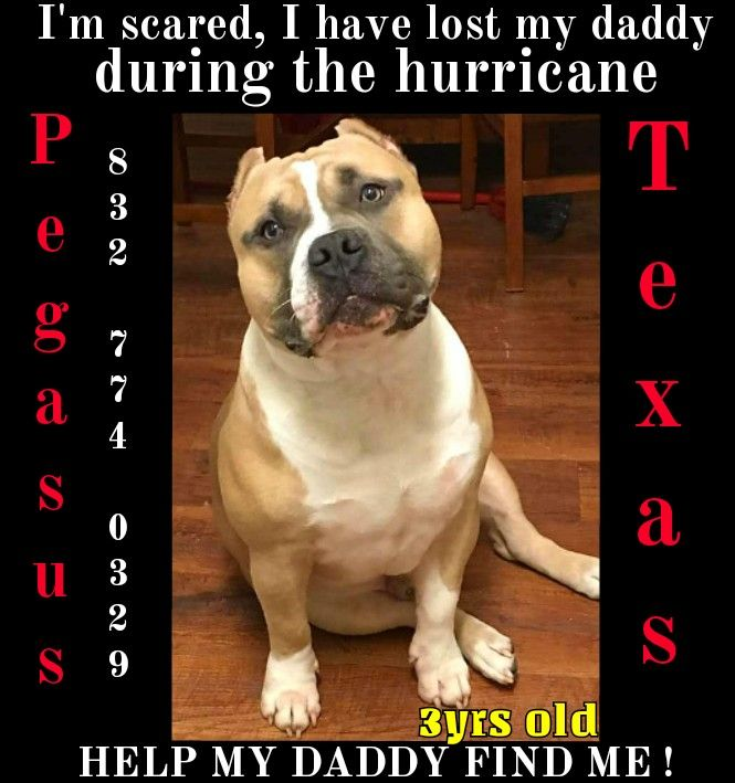 #LOST HARVEY ANIMAL share this post please my dog IS more like my son missing in Pasadena Tx area by strawberry park and kalmer st trying to find him (832-774-0329) his name is Pegasus he's 3 years old American Bully ‼️‼️⚠️ we will offer you reward if anybody could bring him back home me and my kids miss him so much please share I have not found him yet and I will post when I do