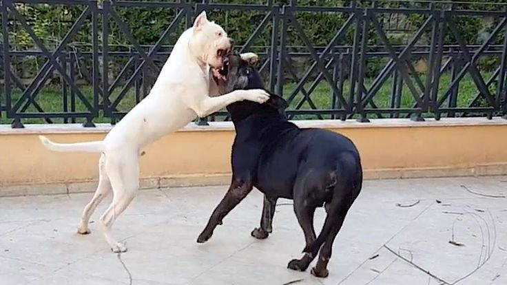 77+ Great Dane Size Compared To Human in 2020 Great dane