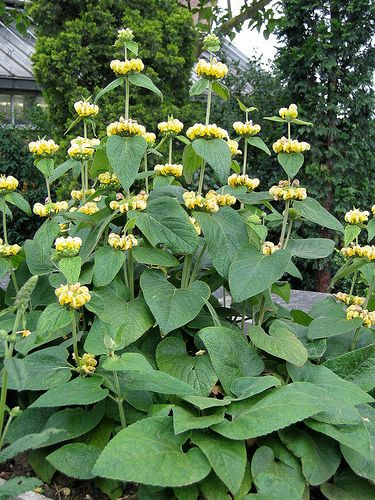 Phlomis Russeliana. Taken from Mandy's old garden, divided and planted in the big bed. The stems look good in the winter.