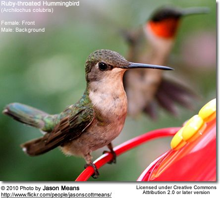 ruby red humming birds Diet the ruby-throated hummingbird hovers over a flower and uses its long tongue to collect nectar it also eats insects it is especially attracted to red tube.