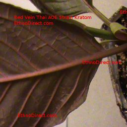 The Best Place To Buy Kratom Plants 2016