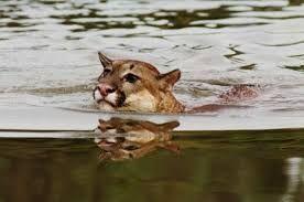 Resultado de imagen para el puma animal