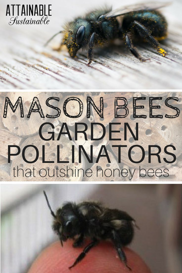 While honey bees are familiar to most of us, there are many other bee species that are great pollinators. Mason bees are great for the vegetable garden!