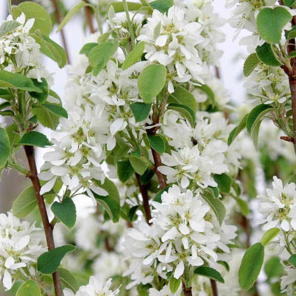 Amelanchier alnifolia 'Obelisk' - June berry - Tree Shrub - Majestic Trees