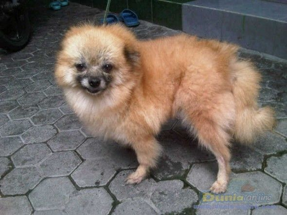 pomeranian sheepdog photo | Dunia Anjing | Jual Anjing Pomeranian - DIJUAL INDUKAN POMERANIAN