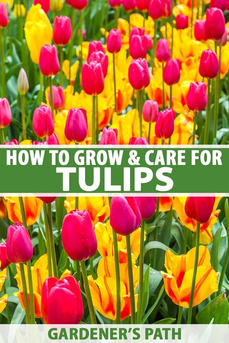 How To Grow And Care For Tulips In 2020 Bulb Flowers Spring Bulbs Growing Flowers