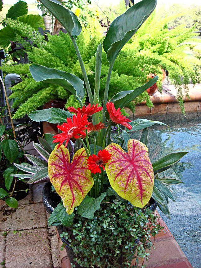 Bird of Paradise, Thai Caladiums, creeping Jenny and African Daisy