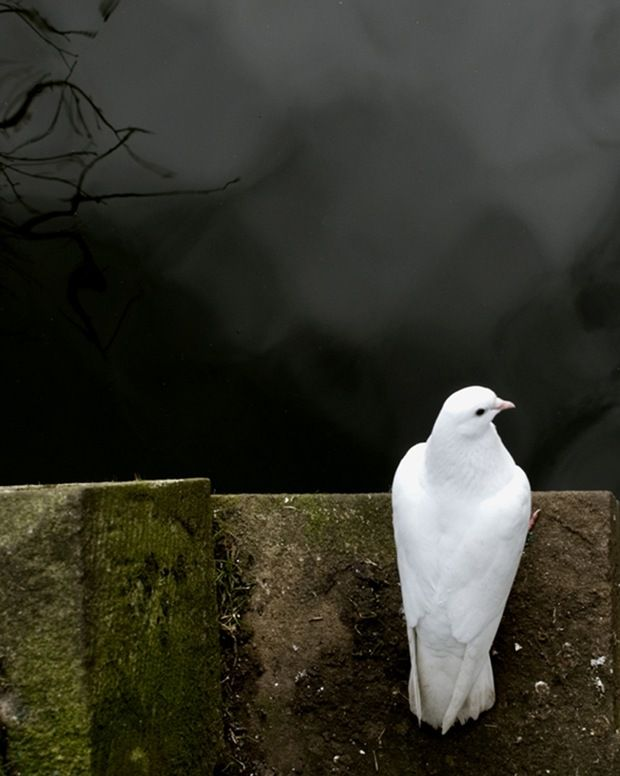 """""""He waited seven more days. Then he sent the dove out again. But that time it didn't return to him."""" Genesis 8:12"""