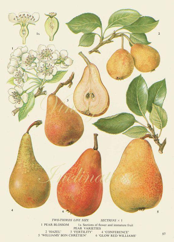 Vintage Botanical Print Antique PEAR VARIETIES 57, plant print botanical print, bookplate art print, apple fruit plants plant wall print