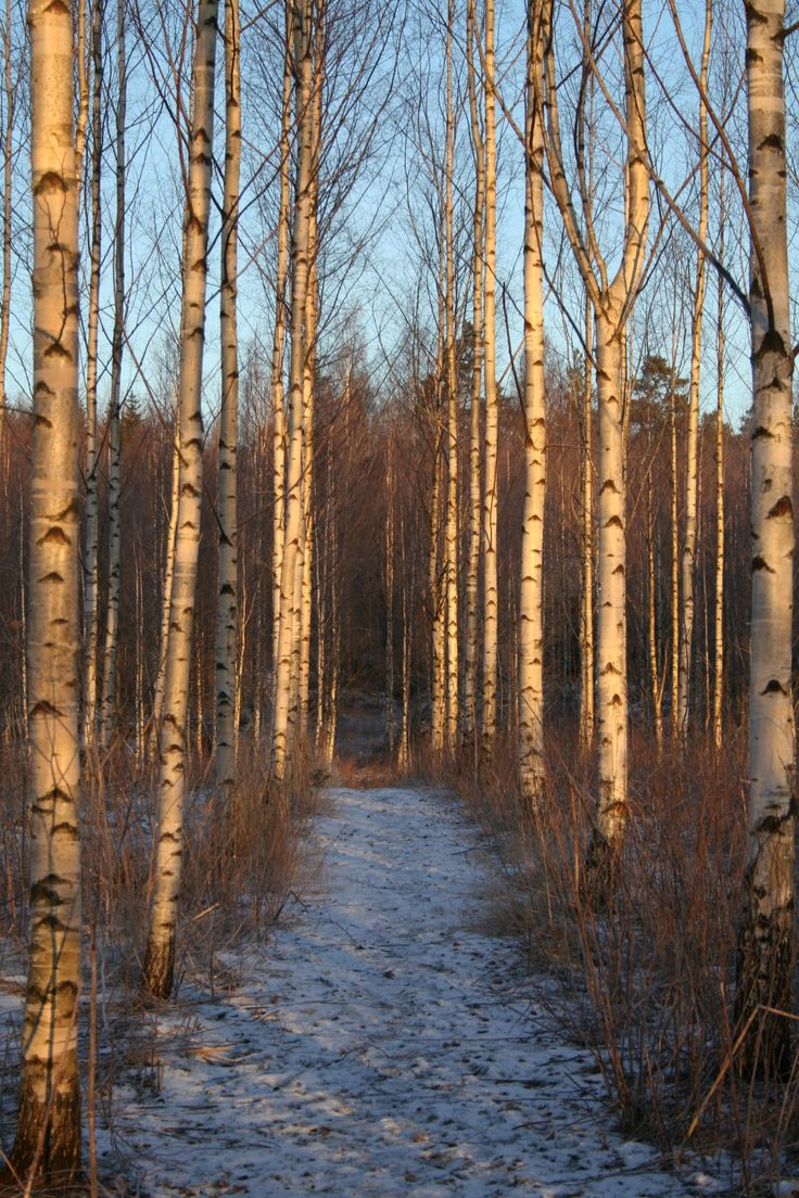 Blue sky, white snow and birches, can it be prettier?