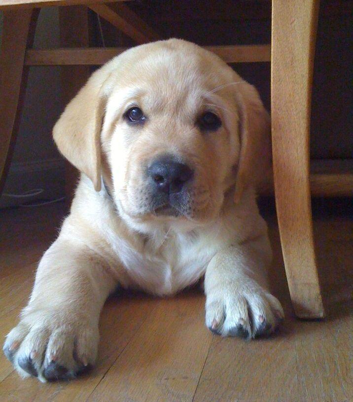 C.R. Labrador's * English Labrador Breeder * All breed Boarding and Training