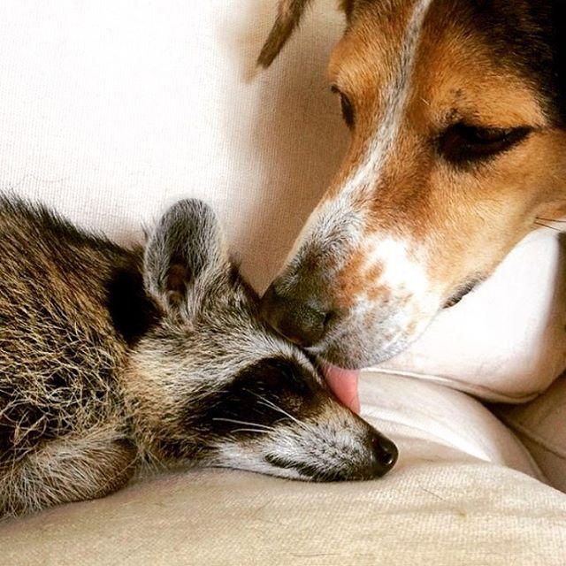 Faites la connaissance de « Citrouille », le jeune raton laveur qui se prend pour un chien !