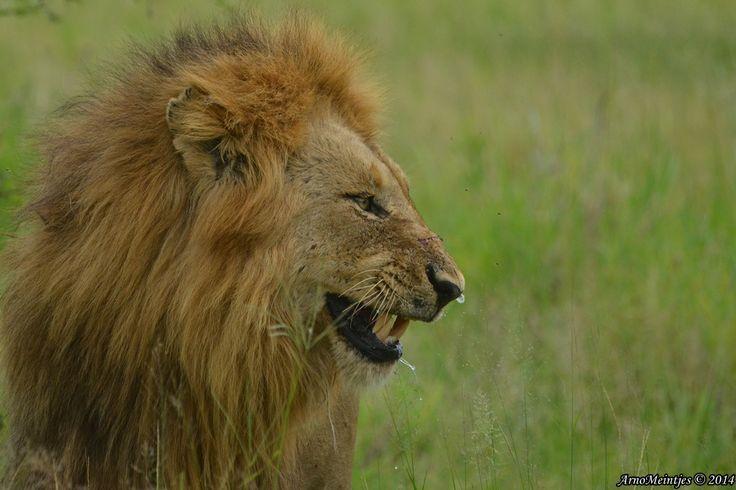 Smiling lion.