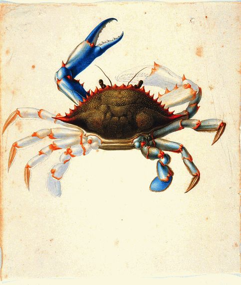 The Torner Collection - Flora and Fauna of Mexico, cca. 1700, from The Hunt Institute. nends