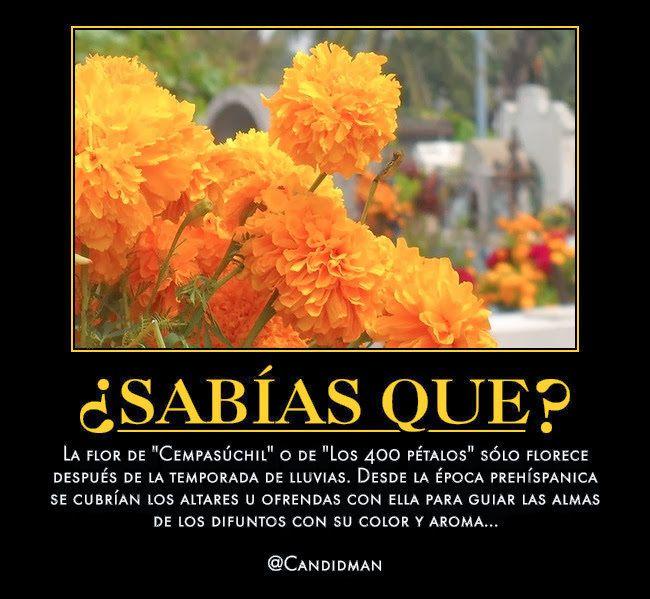 """""""La #FlorDeCempasuchil o de """"Los 400 #Petalos"""" sólo florece después de la temporada de #Lluvias. Desde la #EpocaPrehispanica se cubrían los #Altares u #Ofrendas con ella para guiar las #Almas de los #Difuntos con su #Color y #Aroma"""". @candidman #Curiosidades #SabiasQue #Mexico #Altar #Cempasuchil #DiaDeMuertos #Difuntos #Flores #Muertos #Ofrenda #Ofrendas #Tradicionales #Candidman"""
