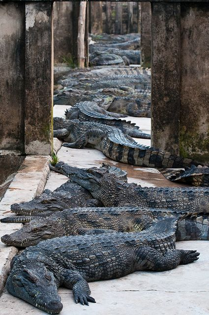 A few crocodiles;  Crocodiles or true crocodiles are large aquatic reptiles that live throughout the tropics in Africa, Asia, the Americas and Australia.