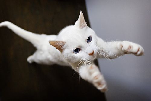 Hey look at me - I'm flying!: Hugs Bi, Kingdom Of Animal Peaches Hugs, Reach Kitty, 4B White Cat ェ Shiroi Neko, Super Cat, Blue Eye, Lulu Photo, Flying Cat, 4BwhitecatェShiroi Neko