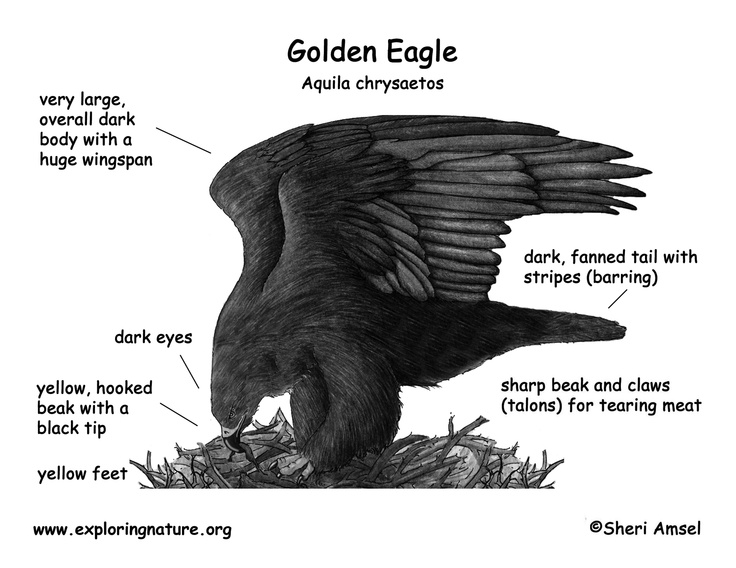Golden Eagle vs Bald Eagle | Index of /graphics/bw_diagram ...