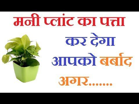 मनी प्लांट कर देगा आपको बर्बाद अगर... Astrology in Hindi