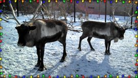 Watch Reindeer Cam on Animal Planet LIVE, the web's top destination for Animal Planet programming and live animal cameras.